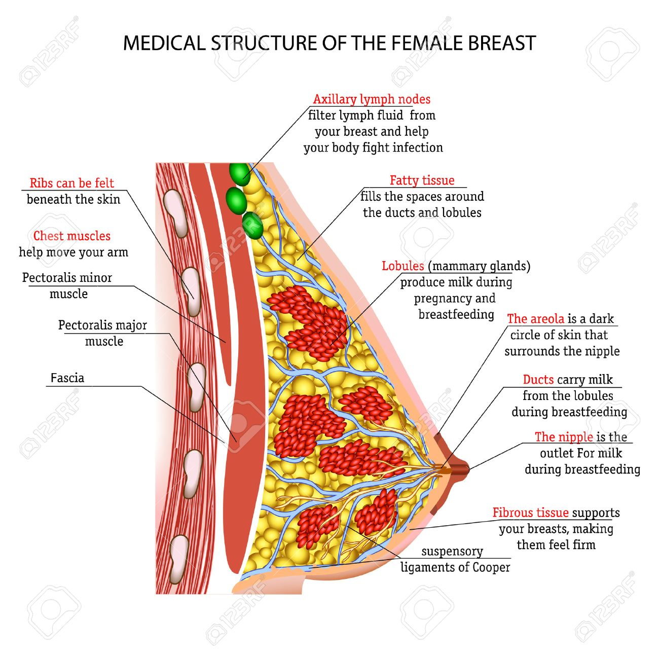 The Anatomy Of The Female Breast Royalty Free Cliparts, Vectors, And ...