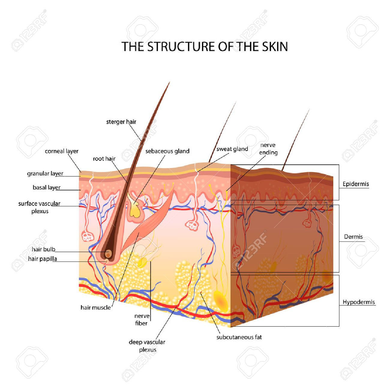 The anatomical structure of the skin vector royalty free cliparts the anatomical structure of the skin vector stock vector 47868524 pooptronica Image collections