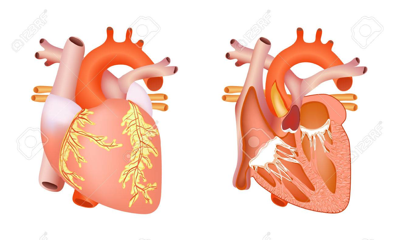 Medical Structure Of The Heart Royalty Free Cliparts Vectors And