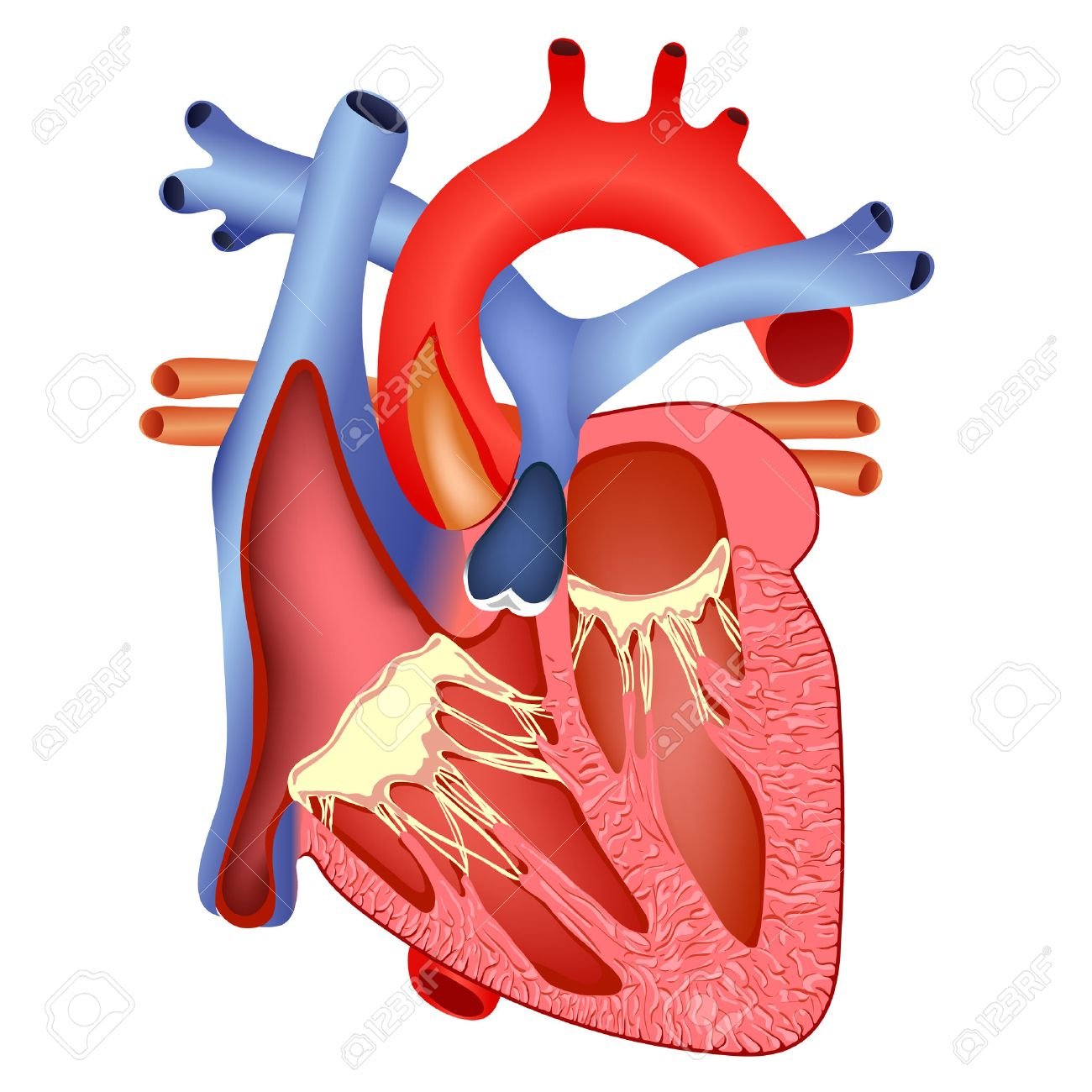medical structure of the heart - 47868556