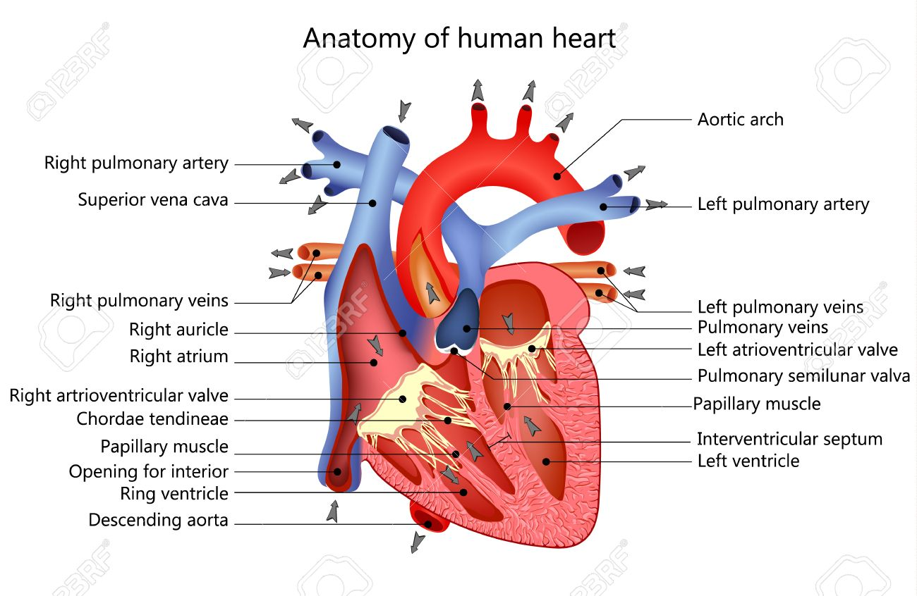 Medical Structure Of The Heart Royalty Free Cliparts, Vectors, And ...