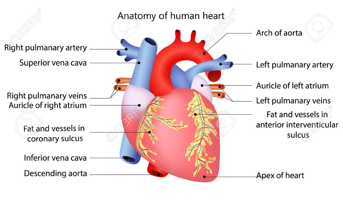 Medical Structure Of The Heart Royalty Fri Clipart Vektorer Och