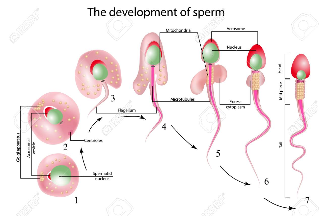 The Development Of Sperm, Human Sperm Cell Anatomy Structure ...