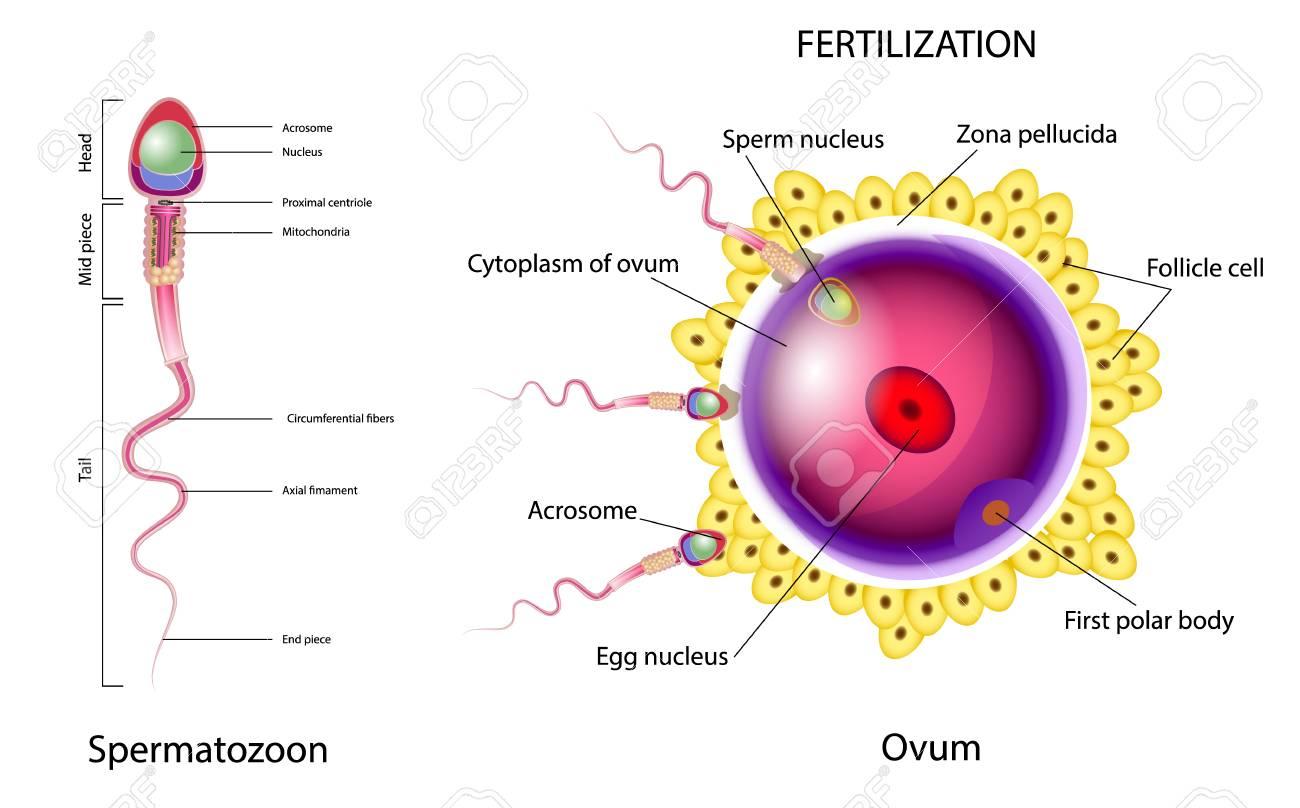 Prozess der Befruchtung von Ei- und Samenzellen
