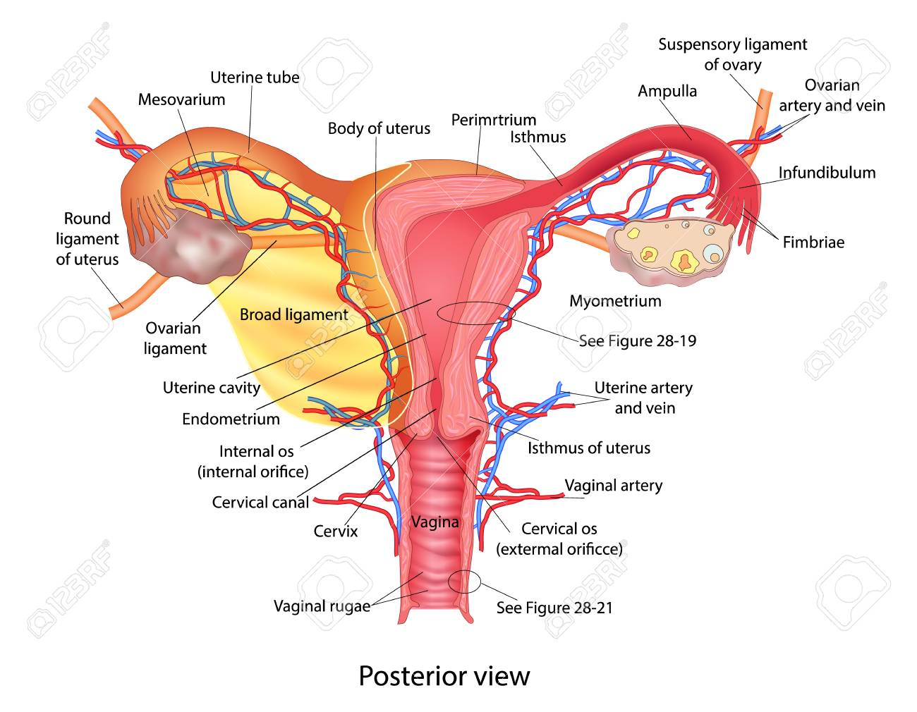 Uterus Medical Poster With Female Reproductive System Scheme