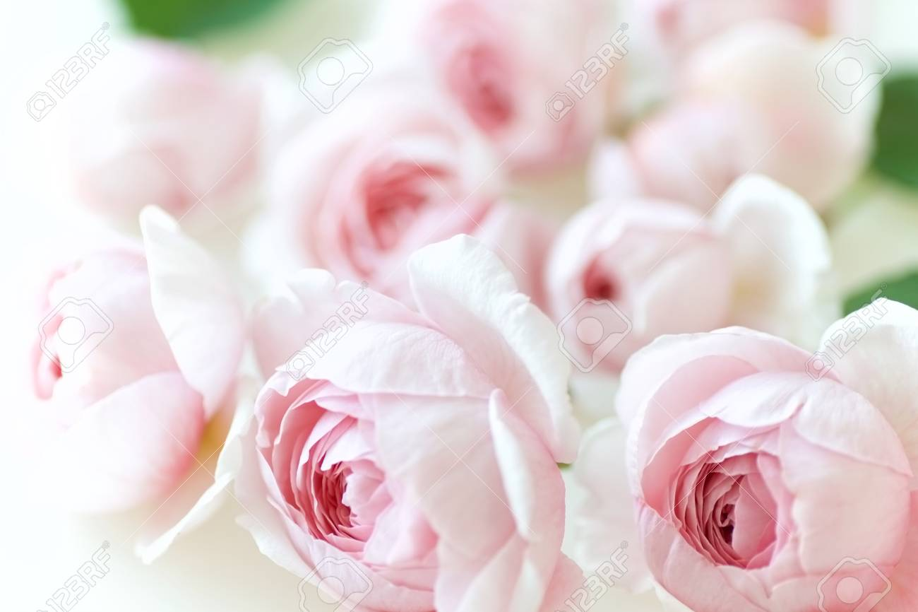 Pale Pink Rose Flower Blossoms Background 6 Stock Photo Picture And