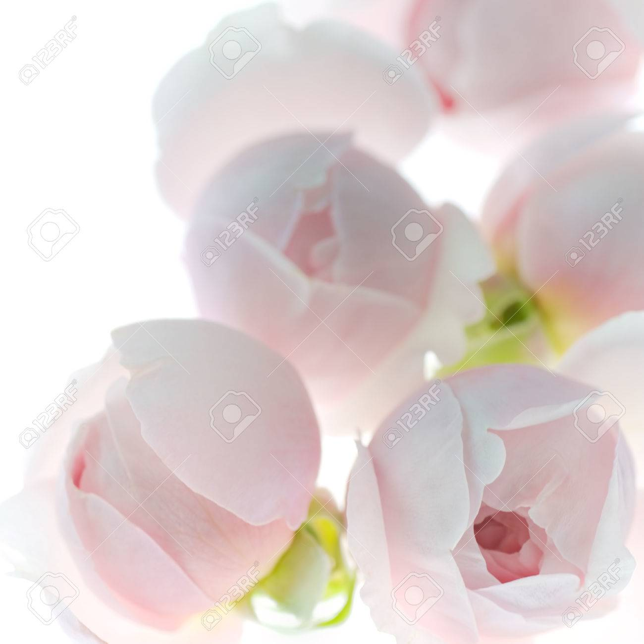 Pale Pink Rose Flower Blossoms Background 1 Stock Photo Picture And