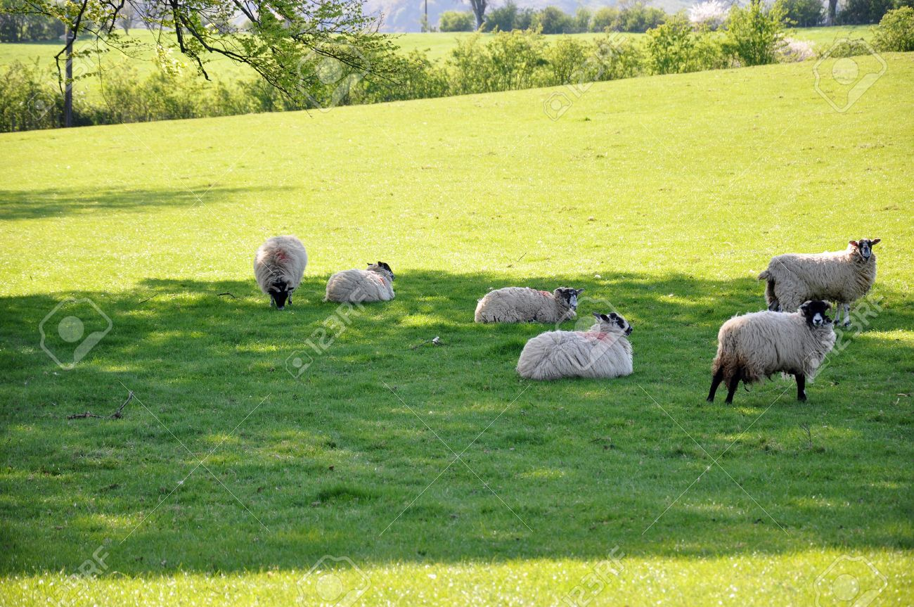 A group of white sheep grazing in a green field Stock Photo - 9453214