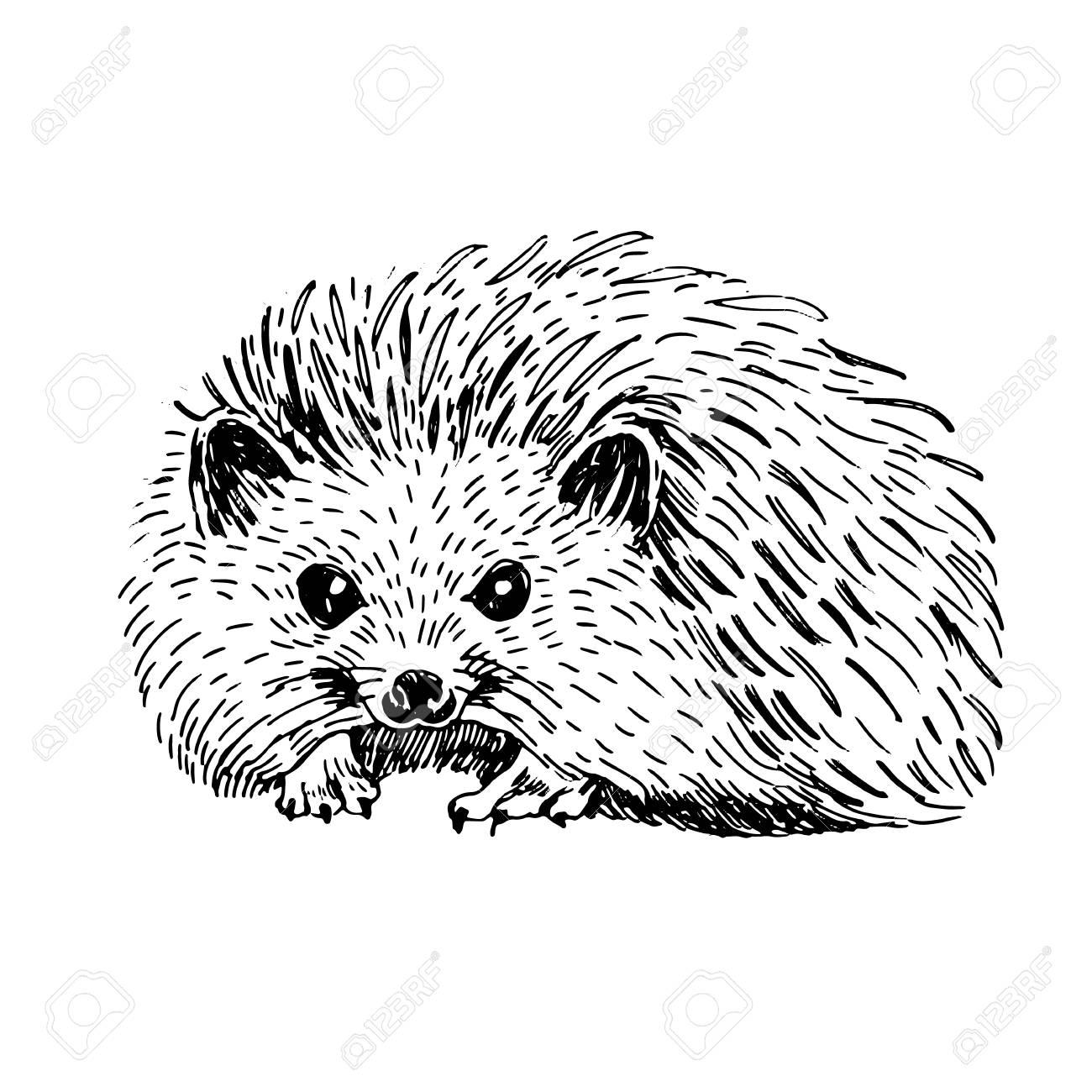 Esquisse Dessin Au Trait D Art De Hérisson Illustration Vectorielle Noir Et Blanc Animal Mignon Dessiné à La Main