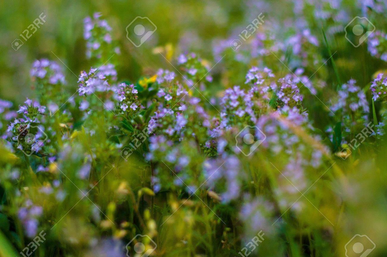 Blooming Herbs meadow flower - 20882592