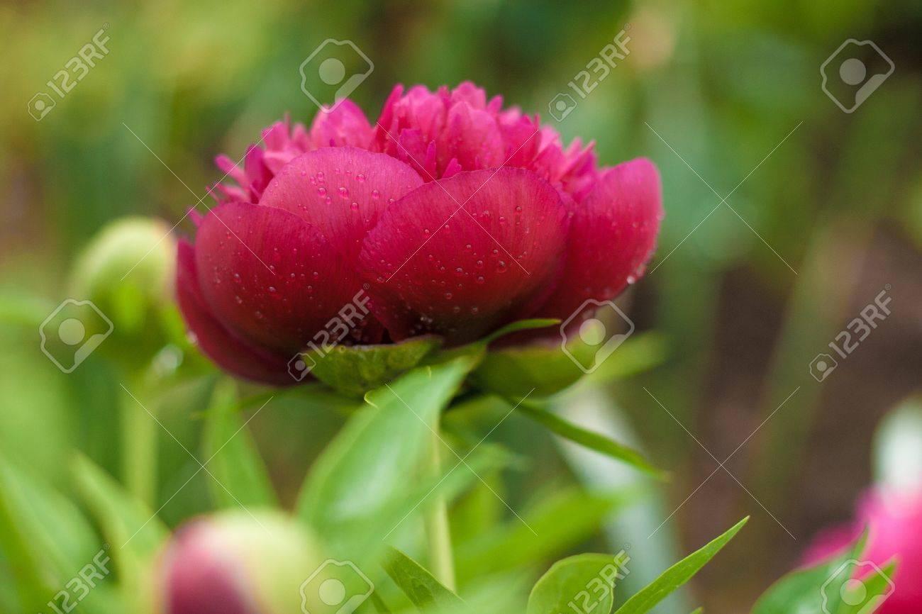 Dark pink peony flower opening its petals in the sunlight - 20882606