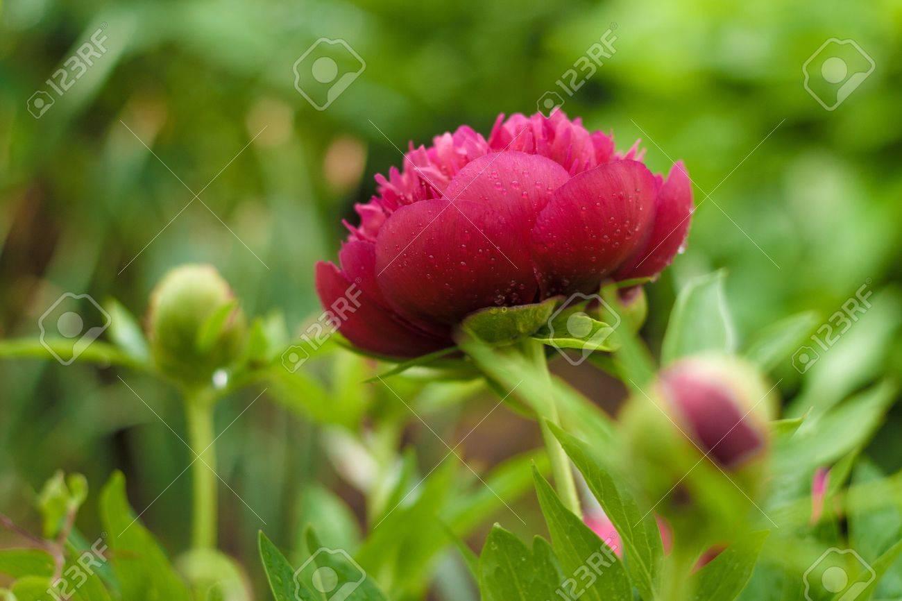 Dark pink peony flower opening its petals in the sunlight - 21049806