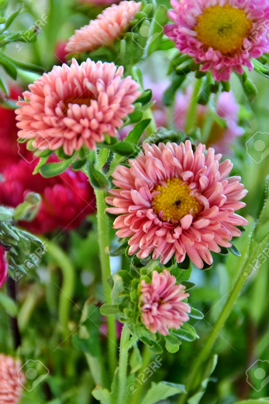 Pink Aster Flowers Stock Photo Picture And Royalty Free Image