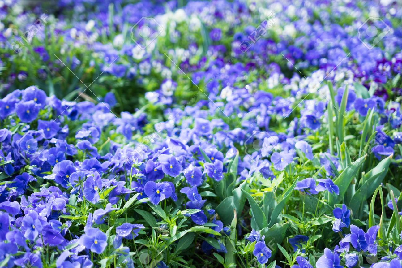 Closeup Of Small Purple And White Flowers Stock Photo Picture And
