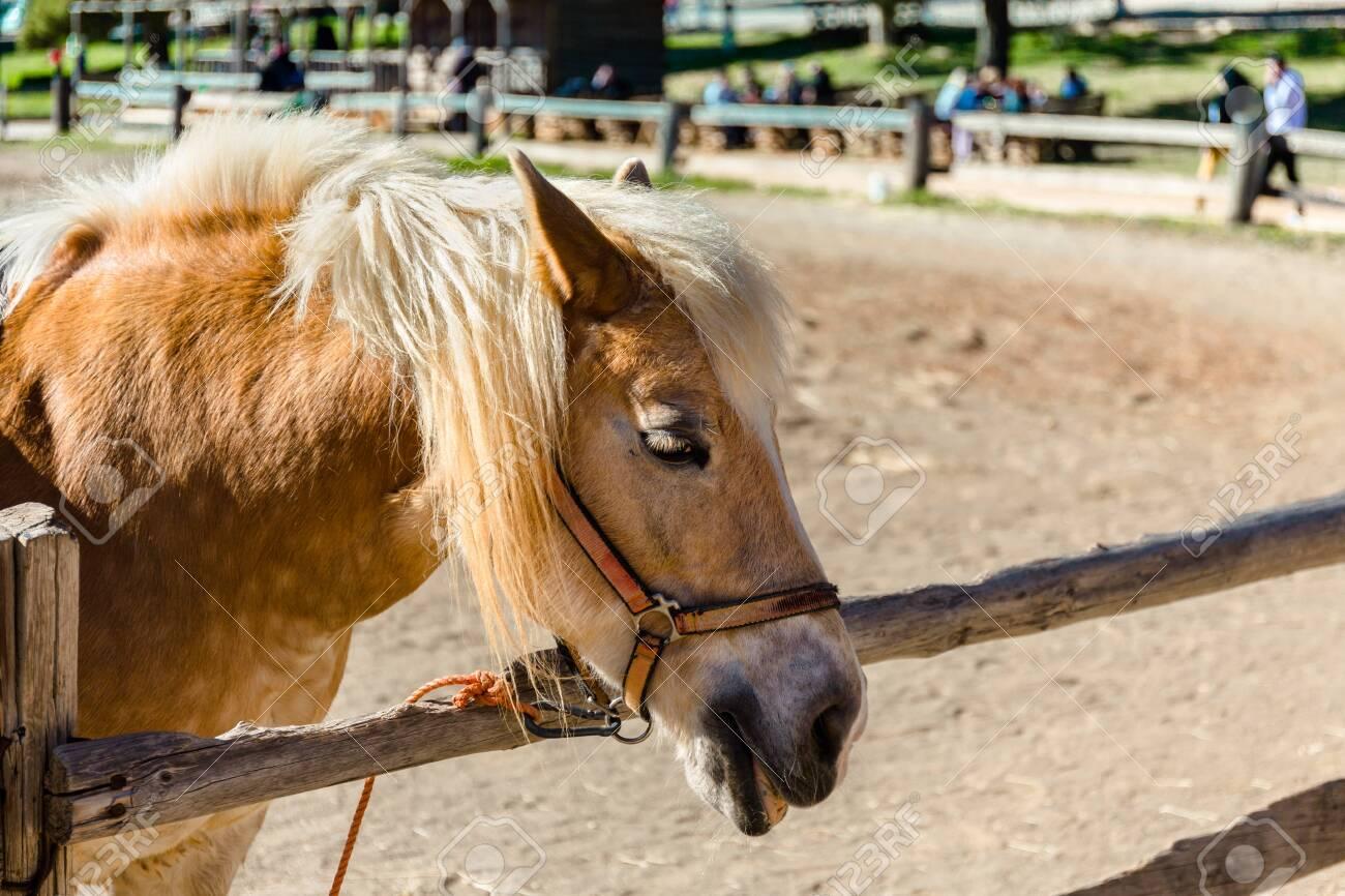 Pony with a hair. Funny pony on a farm. Pony portrait - 149776392