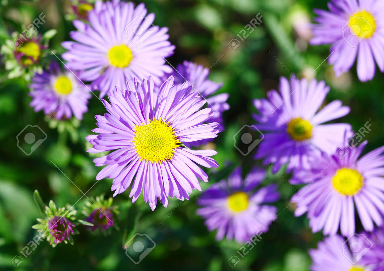 Blue Flowers With Yellow Center Stock Photo Picture And Royalty