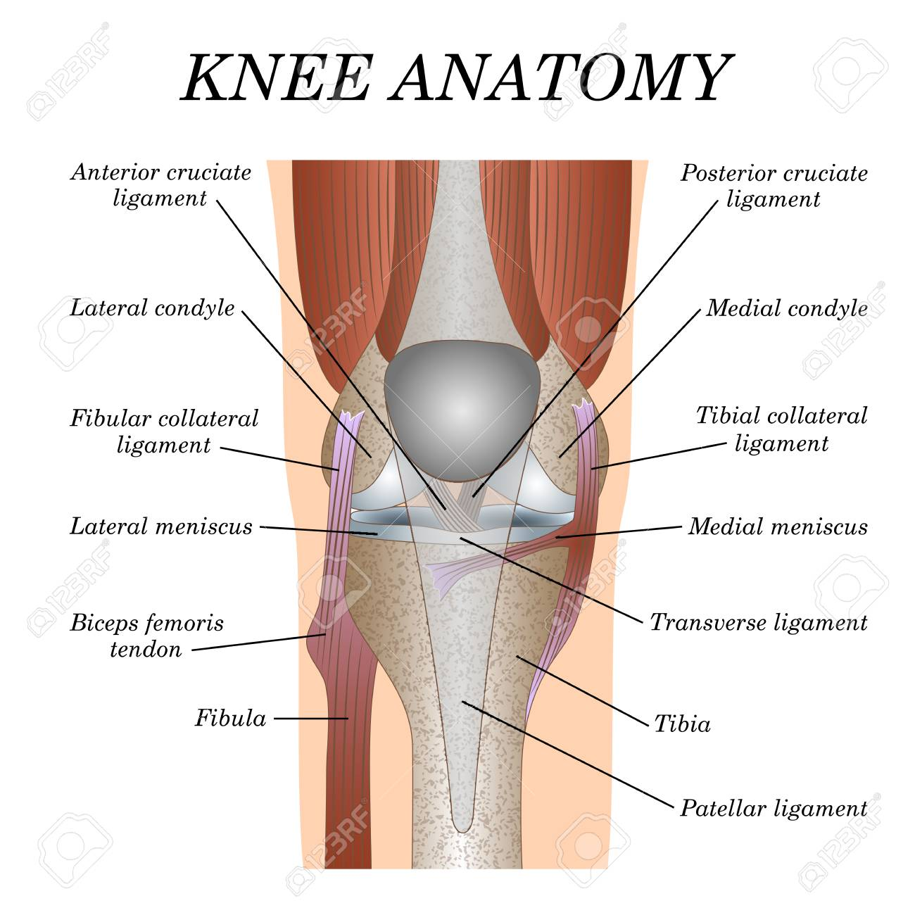 Anatomy Of The Knee Joint Front View Template For Training A