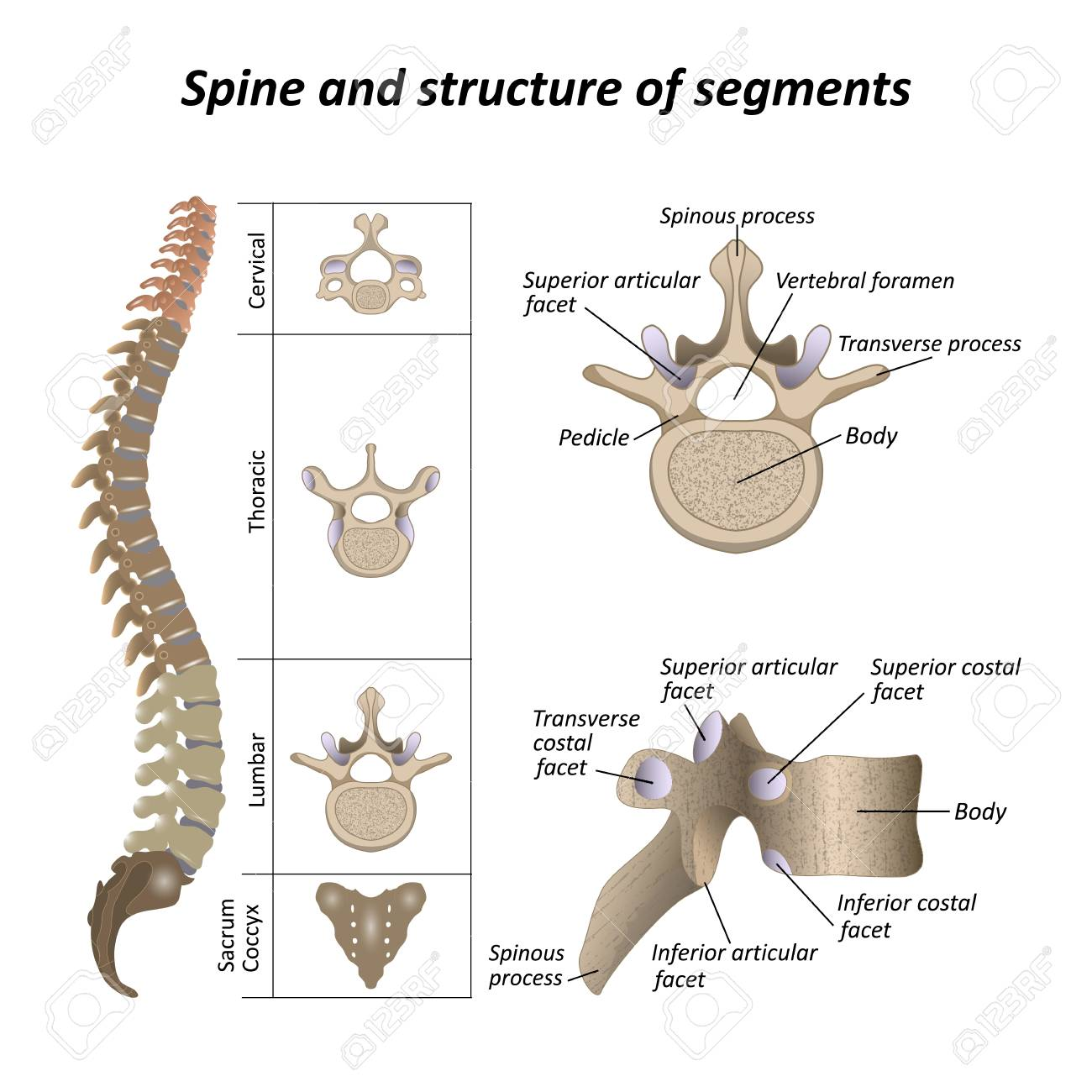 Medical Diagram Of A Human Spine Illustration Royalty Free Cliparts