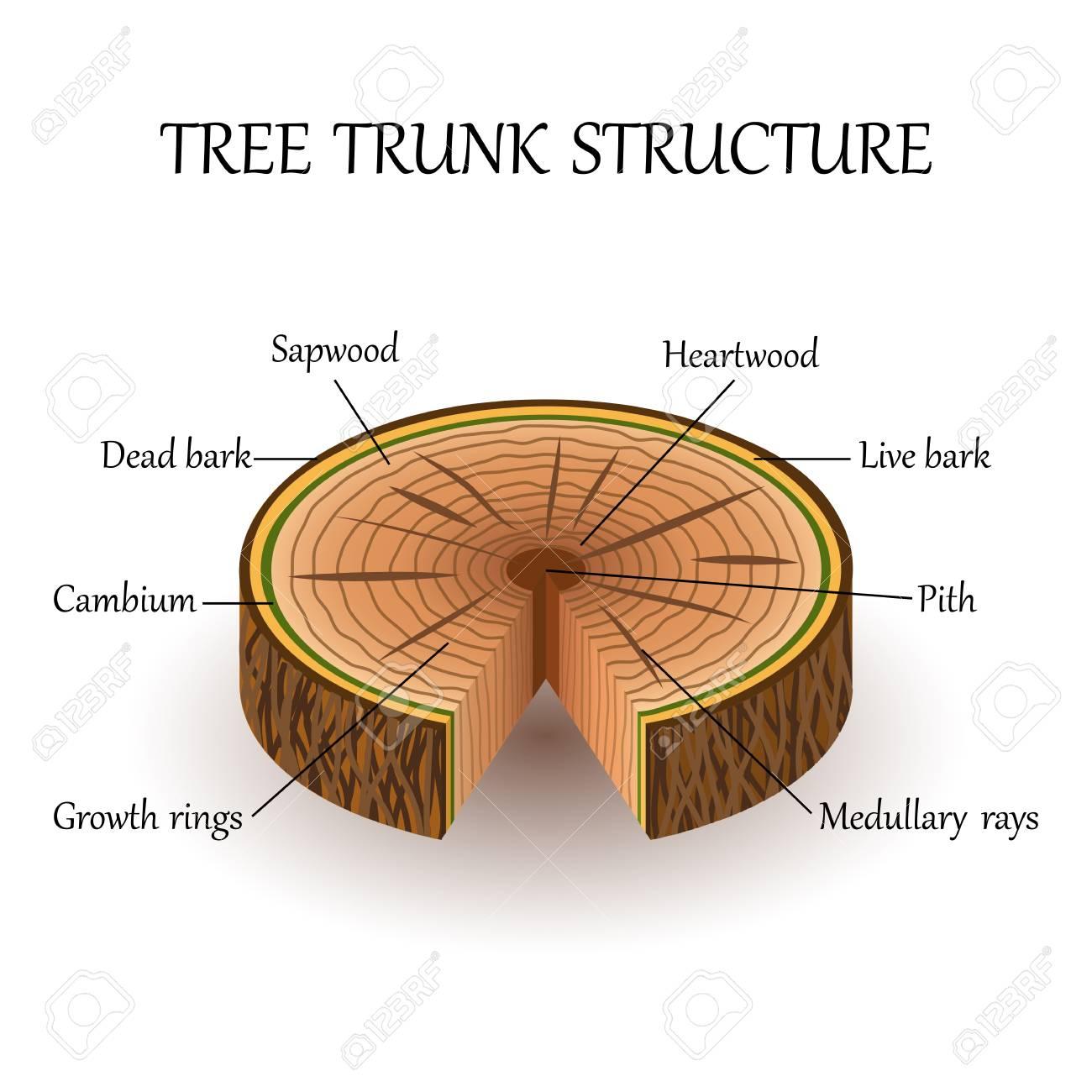 tree trunk diagram blank wiring diagram work  tree trunk diagram label #12