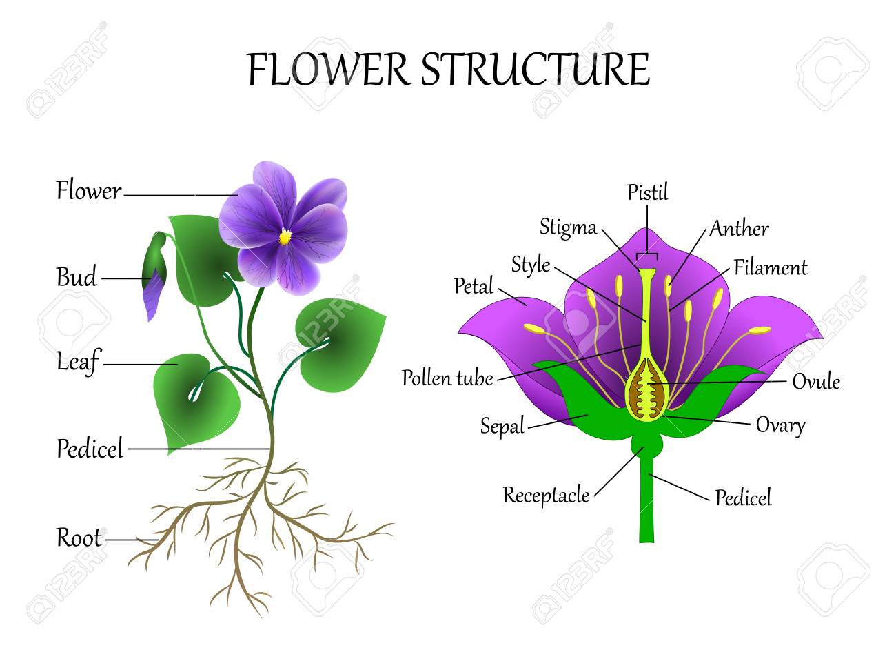 Vector education diagram of botany and biology the structure 100526483 vector education diagram of botany and biology the structure of the flower in a section training bang ccuart Image collections