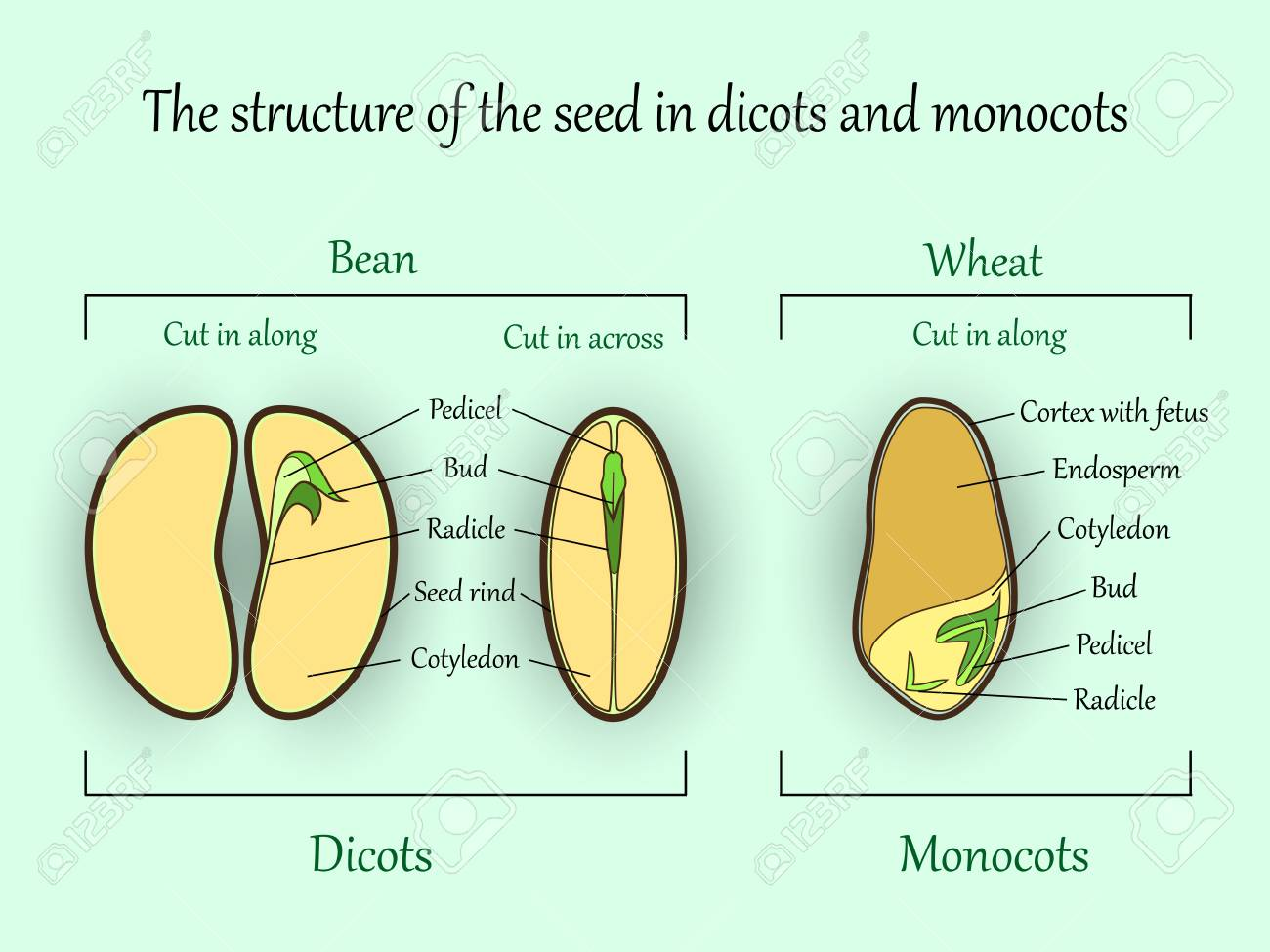 Vector Education Botany Banner, Structure Monocot And Dicot Plant ...