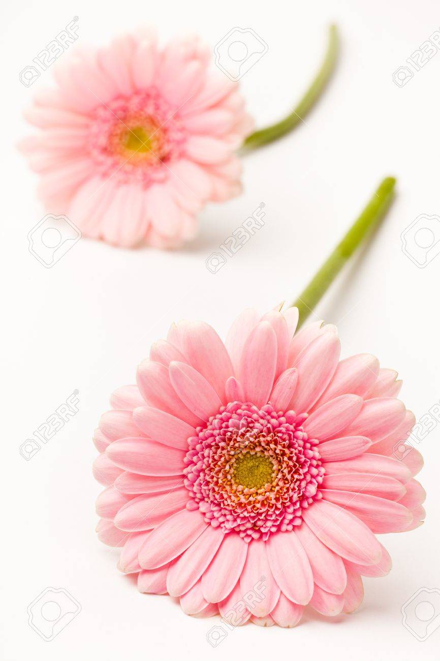 Gerbera flowers. Studio shot of beautiful fresh gerberas on a white background. Stock Photo - 9461256