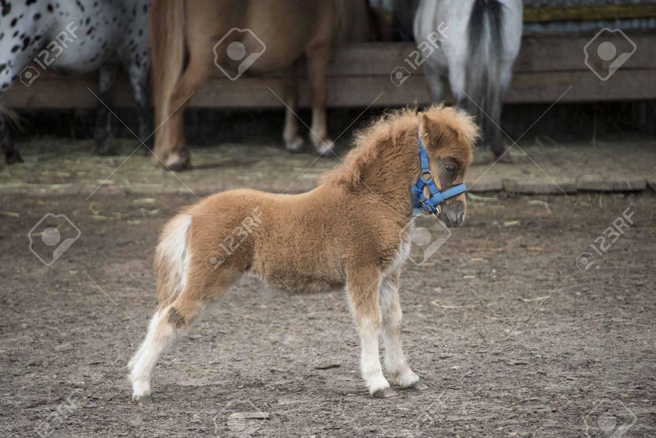 Mini Dwarf Horse In A Pasture At A Farm Foal Mini Horse Stock