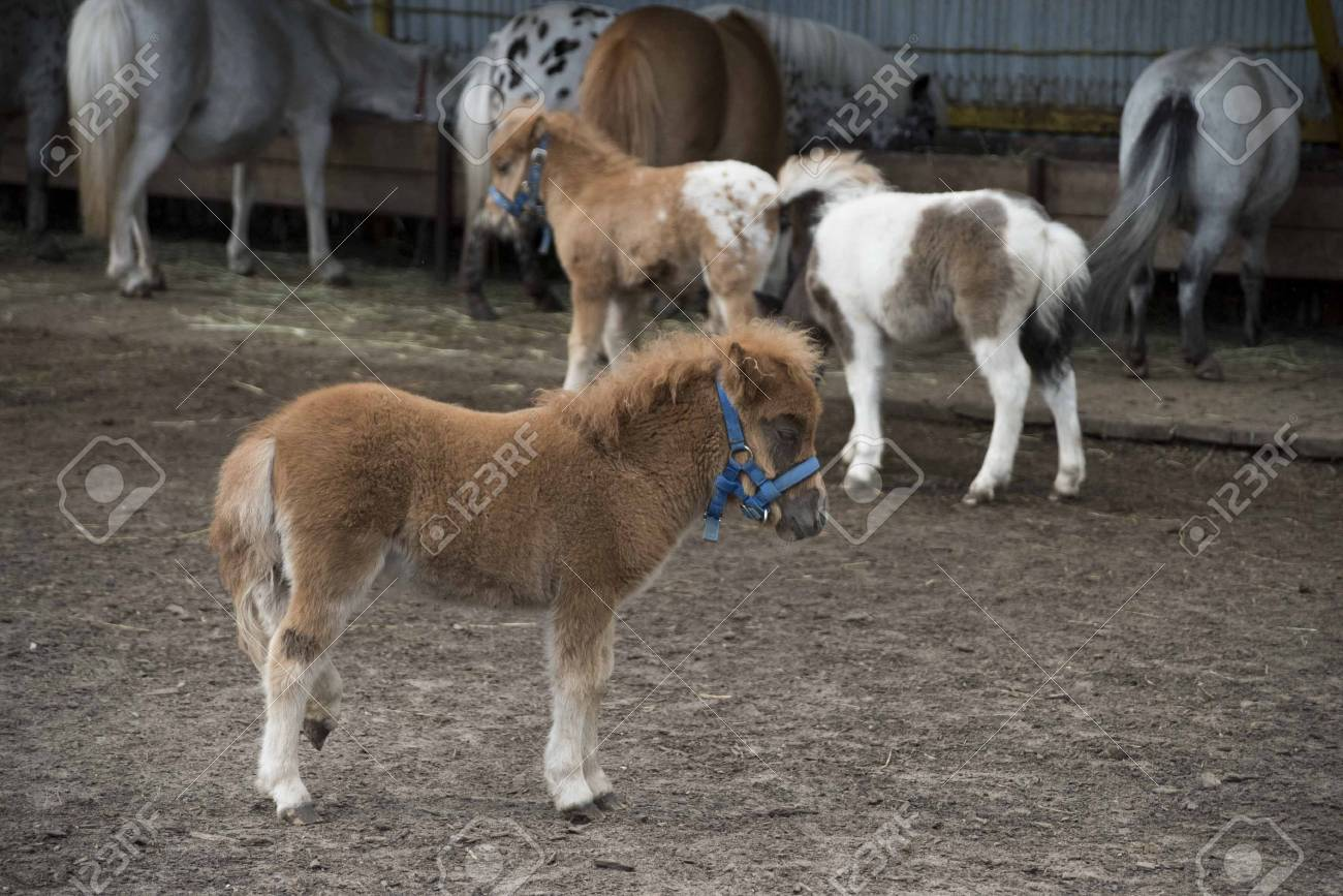 Mini Dwarf Horse In A Pasture At A Farm Foal Mini Horse фотография