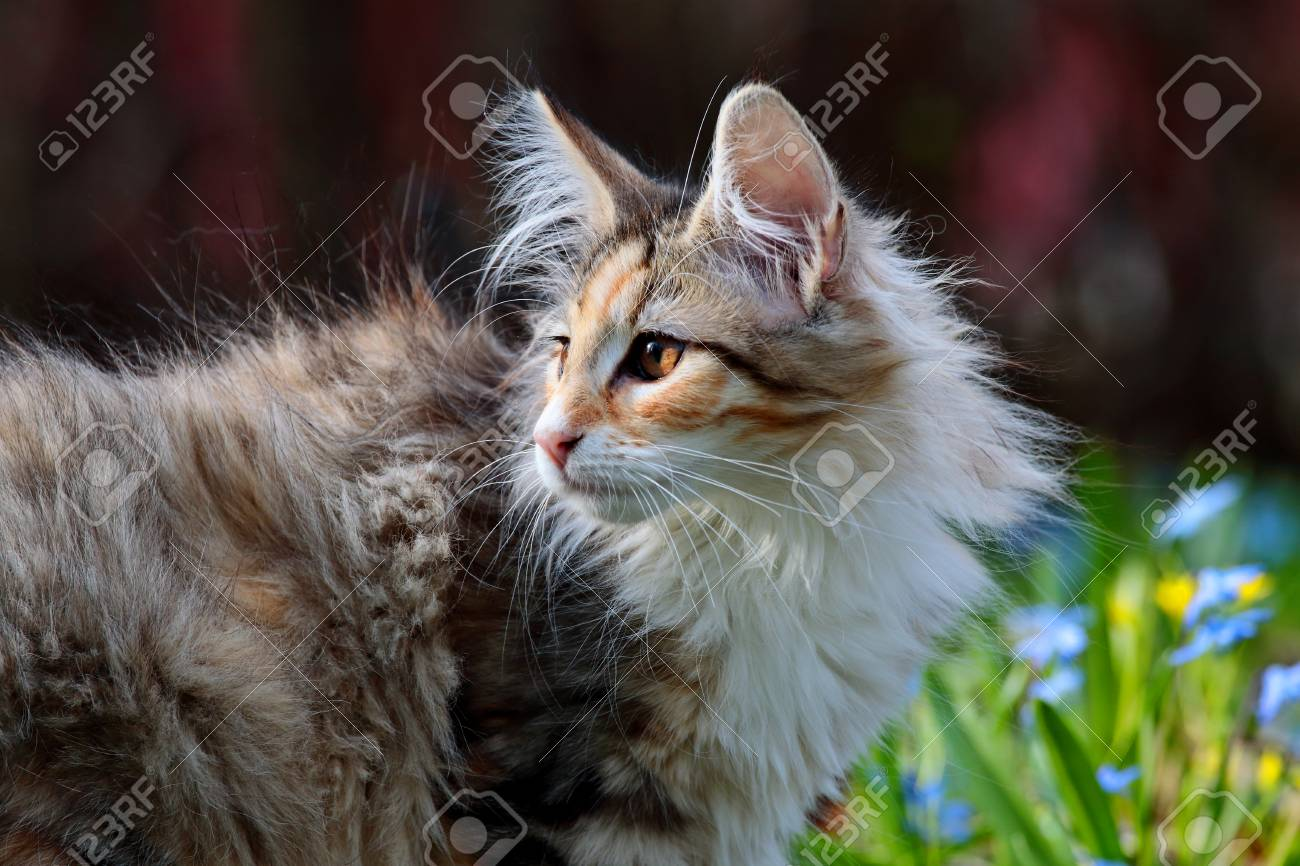 Sweet Norwegian Forest Cat Kitten With Blue Flowers Background Stock Photo Picture And Royalty Free Image Image 101594962