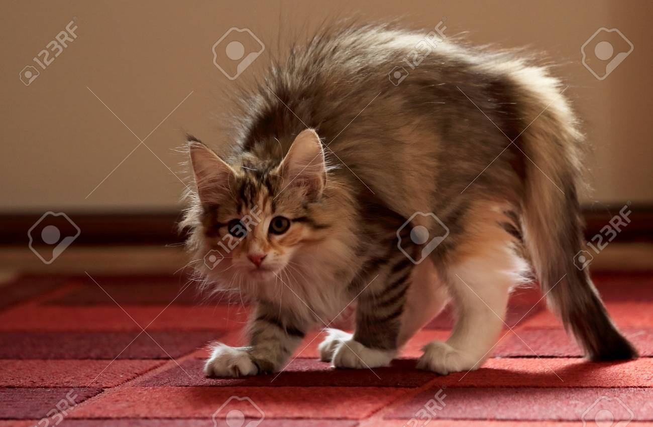 Norwegian Forest Cat Kitten Arched Its Back She Has An Enemy Stock Photo Picture And Royalty Free Image Image 102221734