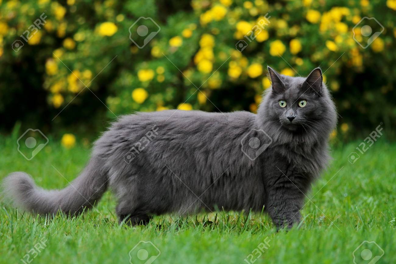 Blue Norwegian Forest Cat Female Standing In Garden Stock Photo Picture And Royalty Free Image Image 104655458