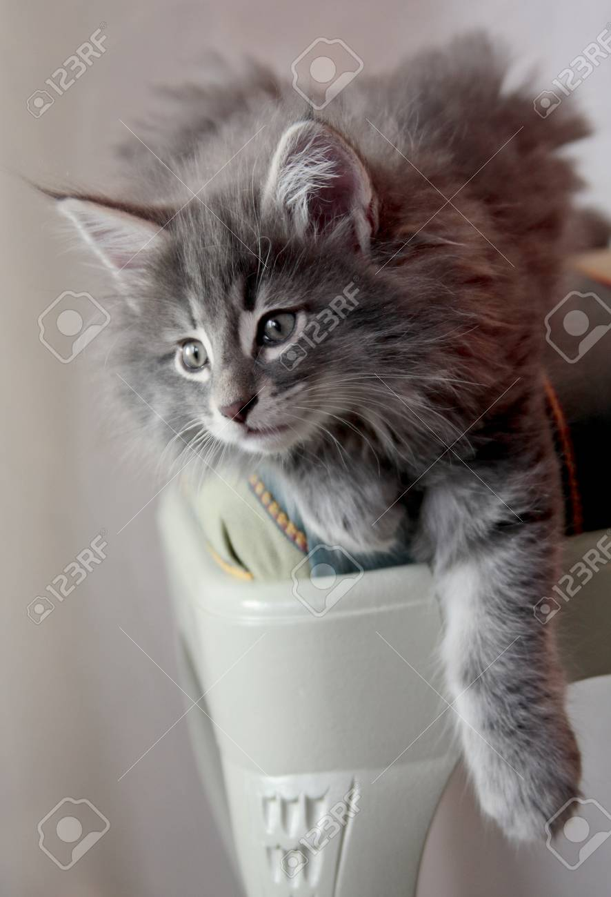 Norwegian Forest Cat Kitten On A Chair He Is Resting With His Stock Photo Picture And Royalty Free Image Image 117282575