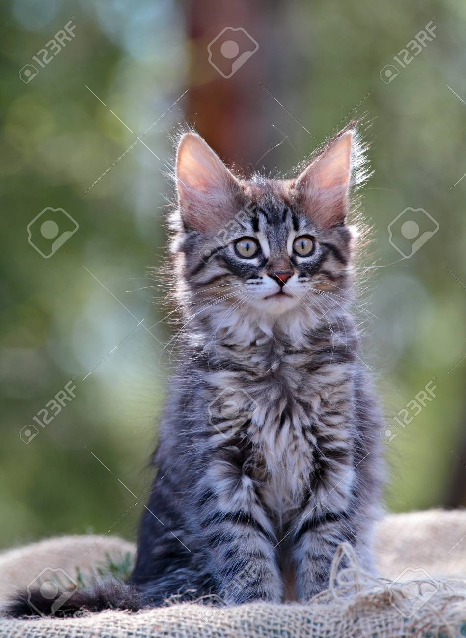 Norwegian Forest Cat Kitten Sitting Outdoors In Backlight Stock Photo Picture And Royalty Free Image Image 117282611