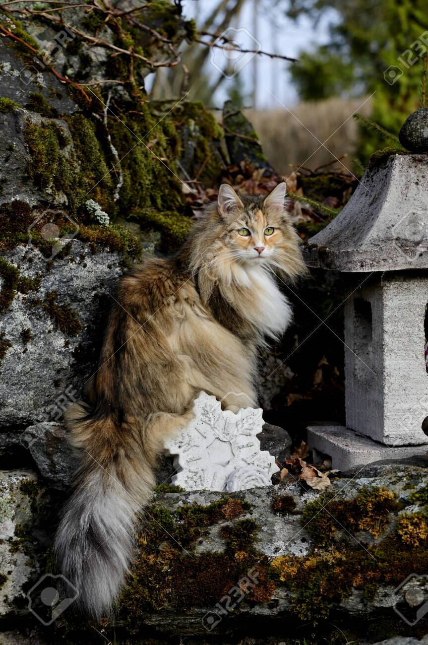 Norwegian Forest Cat Female Sitting On A Stone In Garden On A Stock Photo Picture And Royalty Free Image Image 122849558