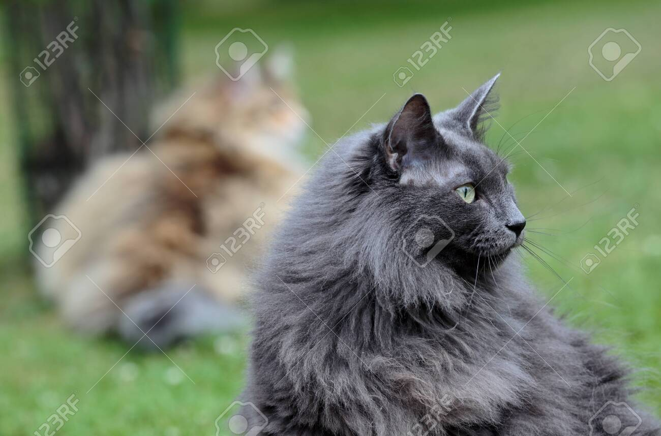 Norwegian Forest Cat Female With Alert Expression In Garden Stock Photo Picture And Royalty Free Image Image 132105303