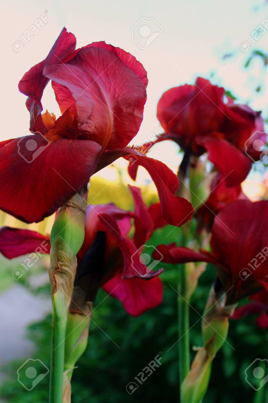 Red Iris Flowers Blooms In The Garden On The Summer Season. Stock ...