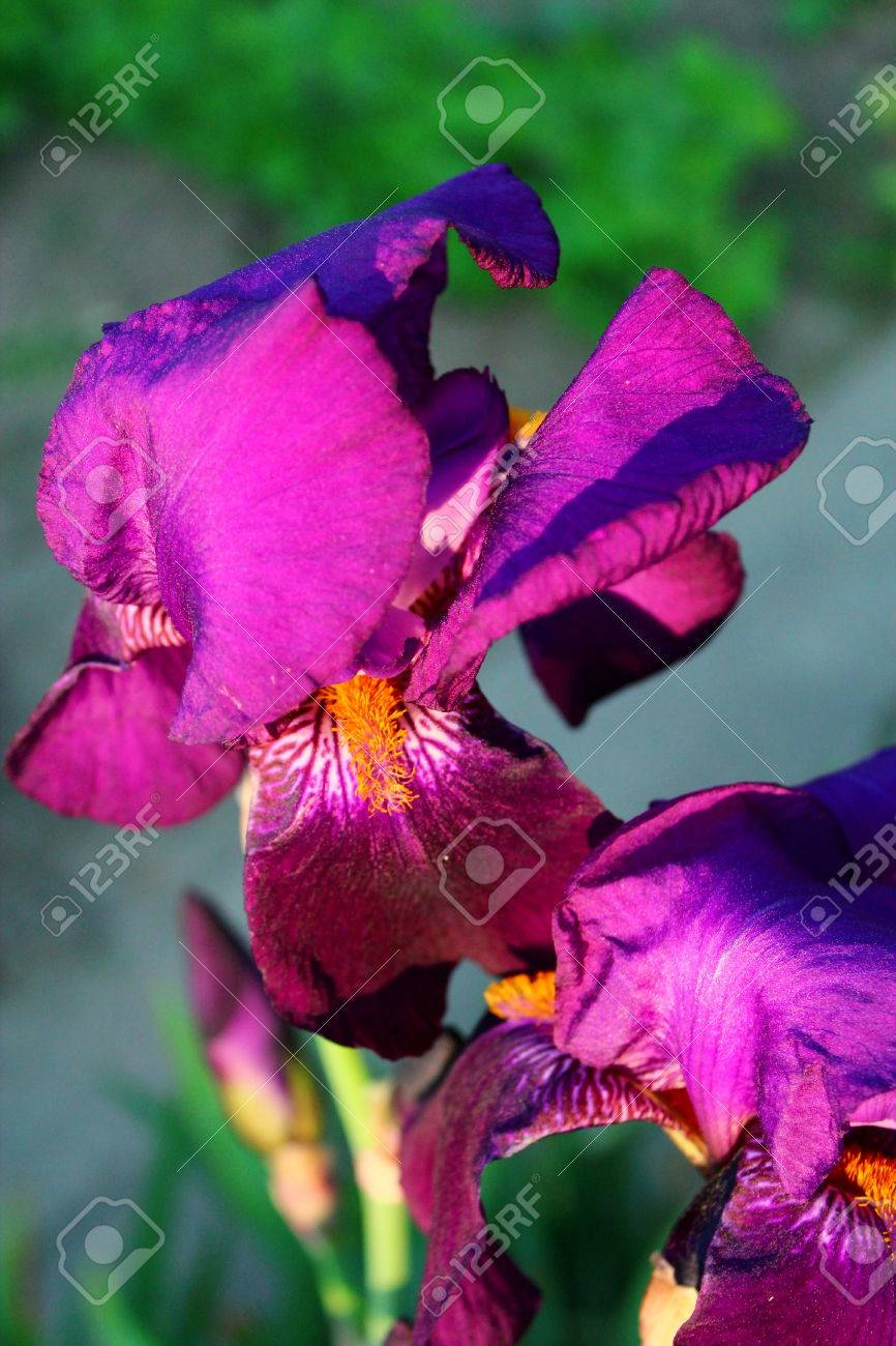 Purple Iris Flower Blooms In The Garden In The May Season Stock