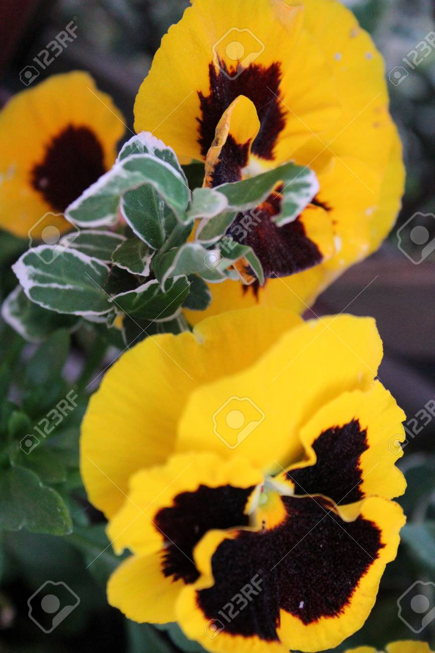Yellow Pansy Flowers Bloom In The Garden A Warm Summer Day Stock
