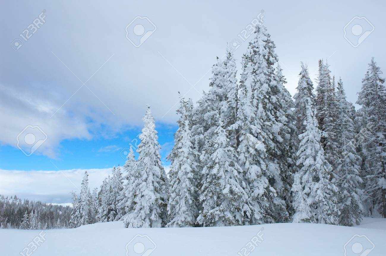 pine trees with snow in steamboat springs colorado usa stock photo