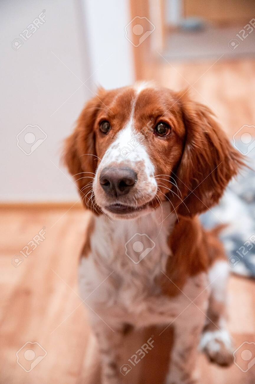 Cute Looking Welsh Springer Spaniel Puppy Stock Photo Picture And Royalty Free Image Image 142968096
