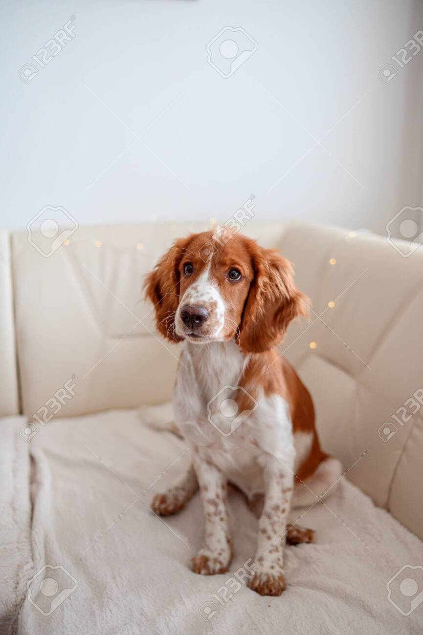 Cute Looking Welsh Springer Spaniel Puppy Stock Photo Picture And Royalty Free Image Image 142967936