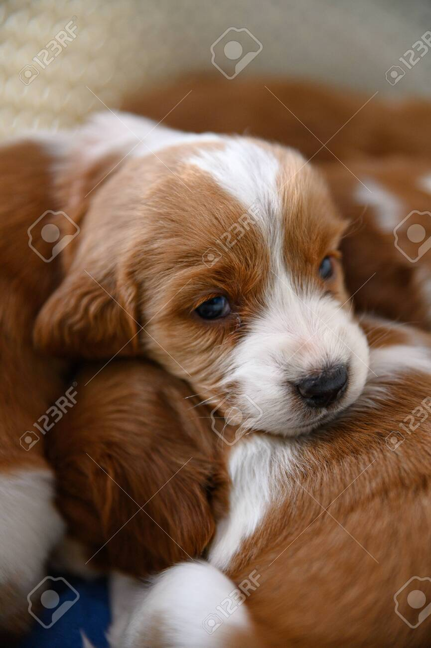 Cute Newborn Welsh Springer Spaniel Puppies One Month Old Stock Photo Picture And Royalty Free Image Image 144858968