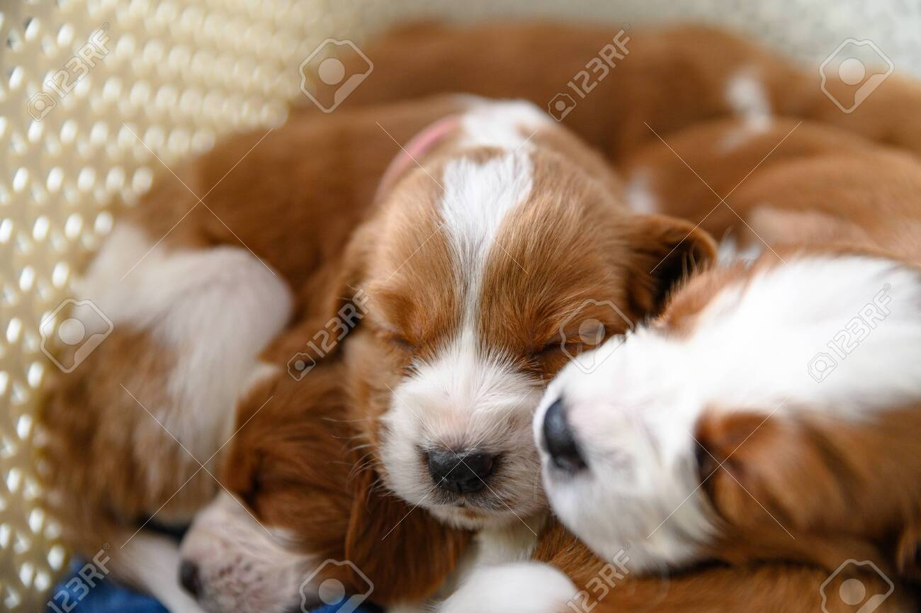 Cute Newborn Welsh Springer Spaniel Puppies One Month Old Stock Photo Picture And Royalty Free Image Image 144858973