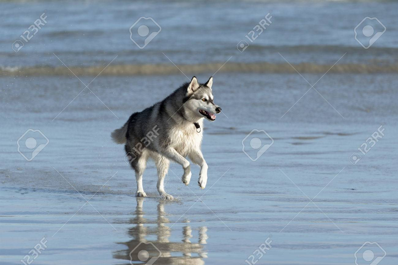 Husky dog on the beach in shallow waters Stock Photo - 27153077