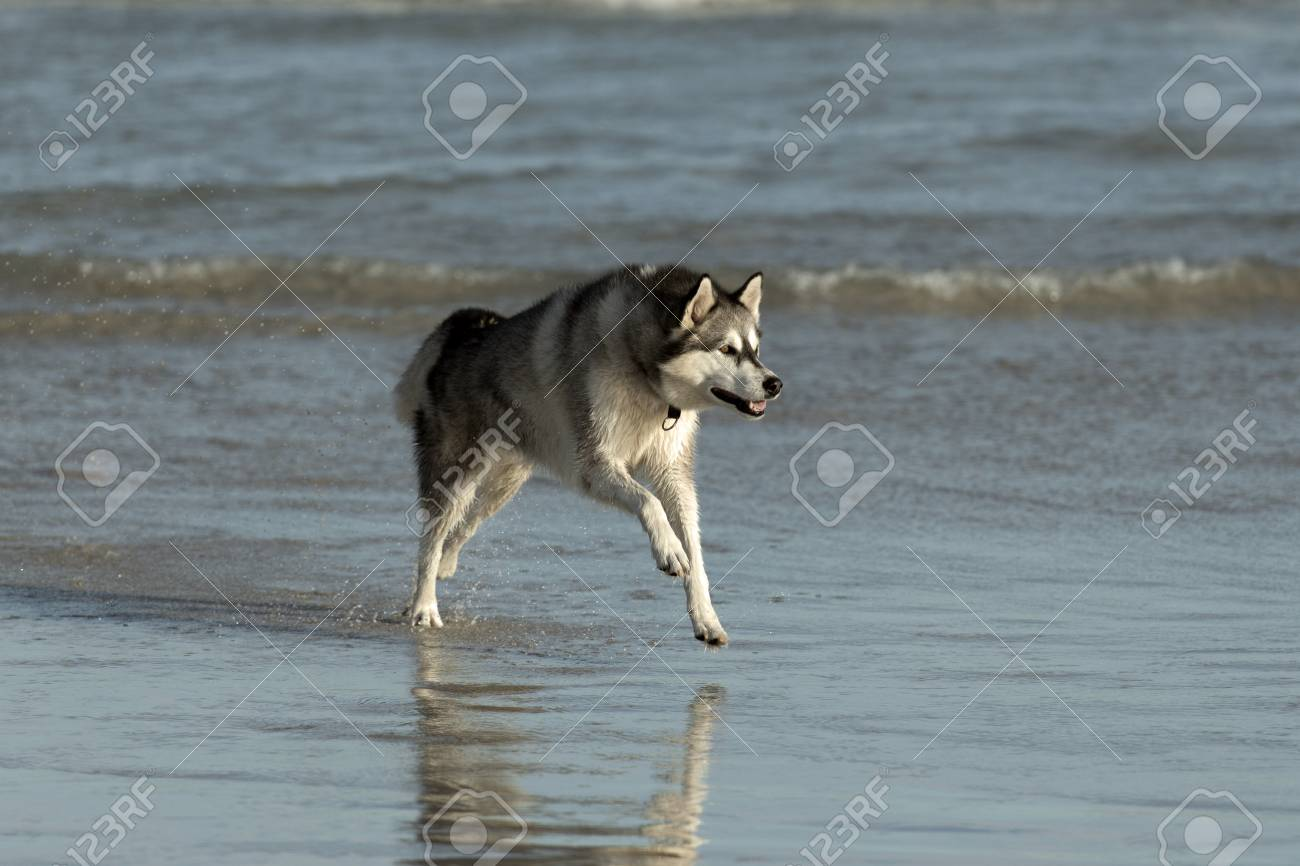 Husky dog on the beach in shallow waters Stock Photo - 27152985