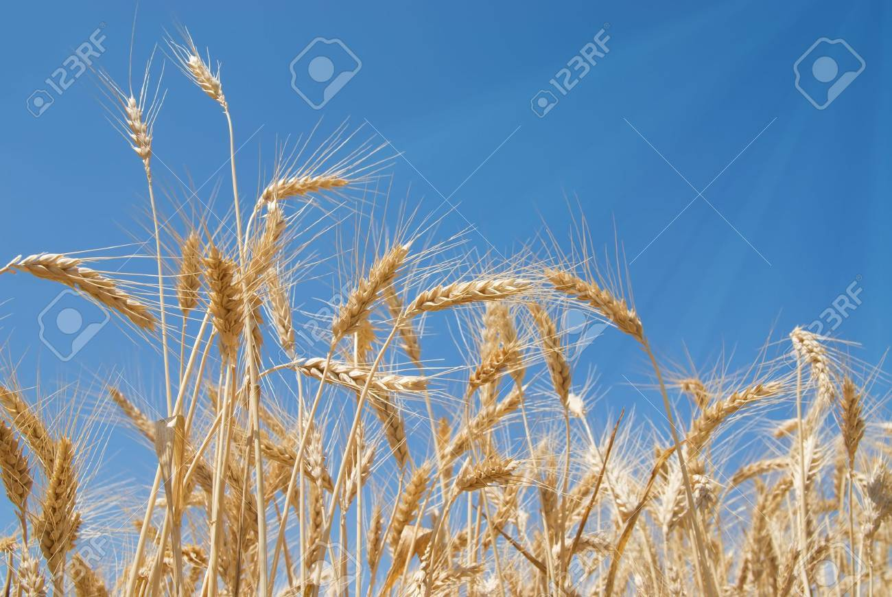 Field of wheat with sunbeams touching the straws Stock Photo - 3904784