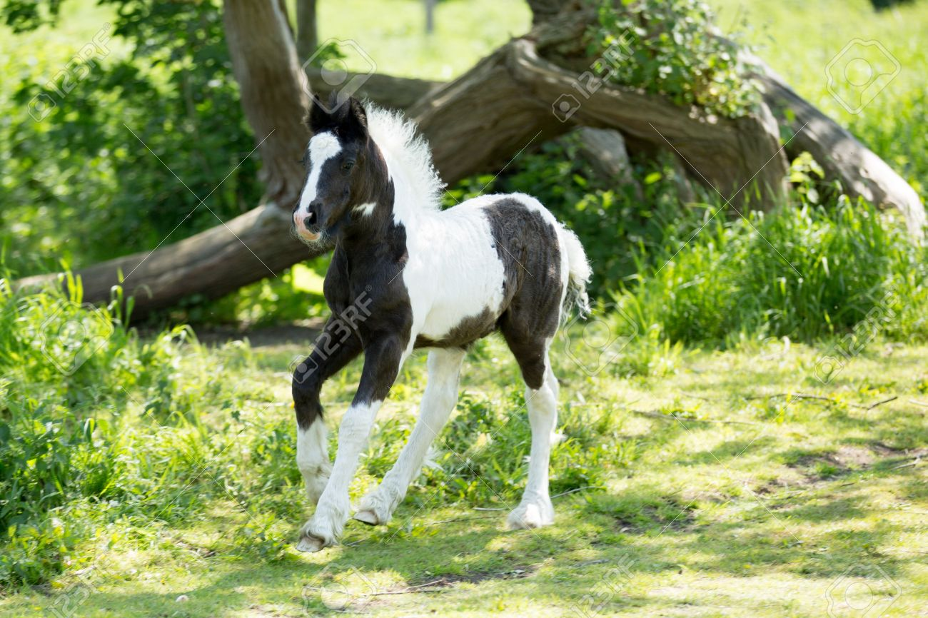 Foal Baby Horse Trotting Stock Photo Picture And Royalty Free Image Image 20416190