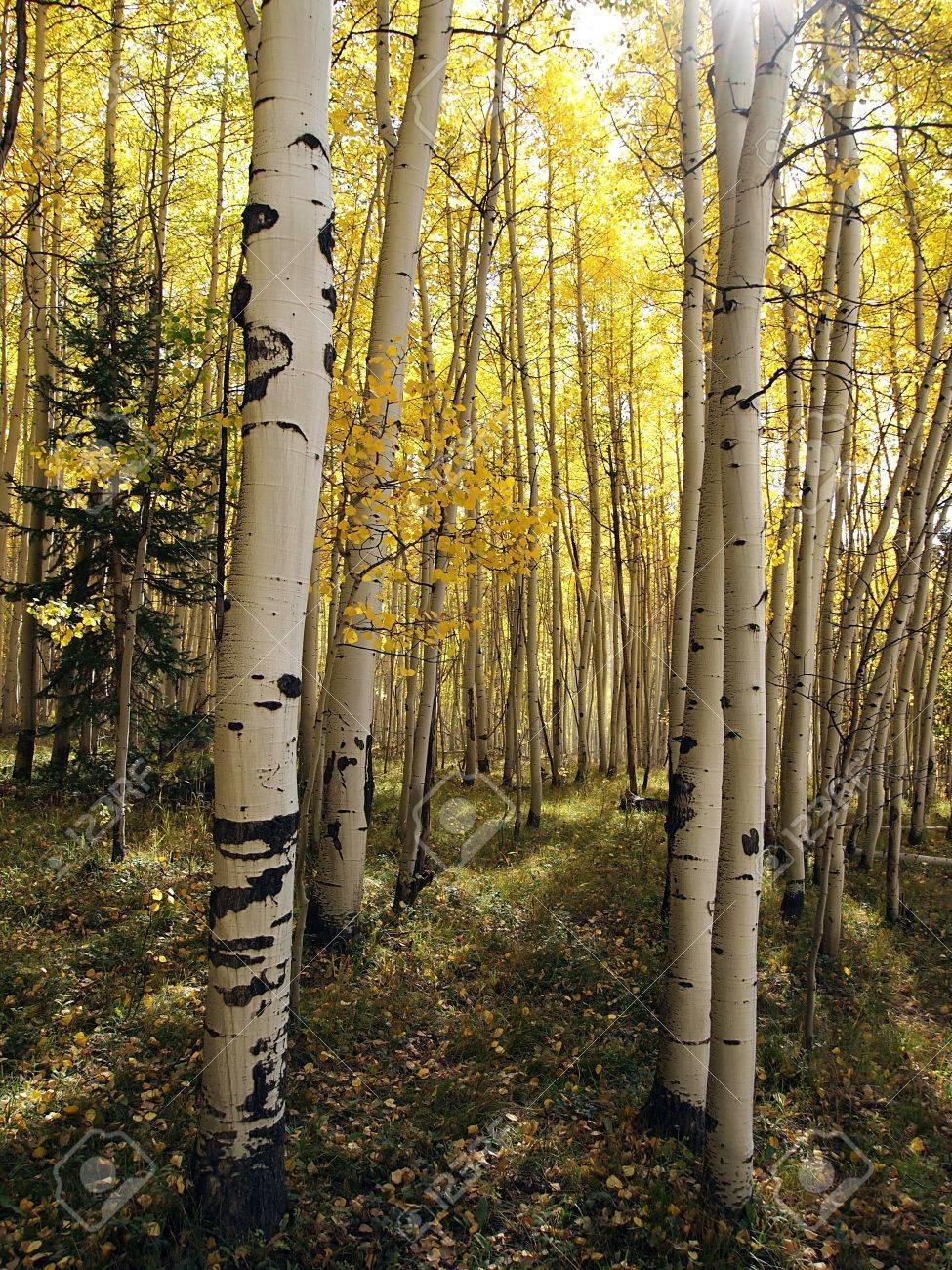 The sun shines into a dense aspen forest in the autumn. Stock Photo - 8061841