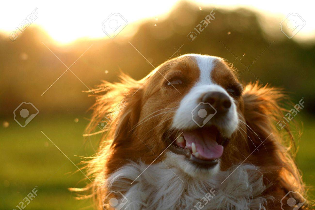 A kooijker dog in the setting sun. The buzzing flies make some colorfull little spots Stock Photo - 503486