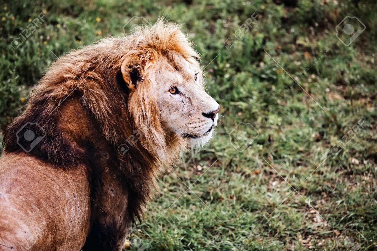 Single male lion portrait. Big lion looking out. - 171940293